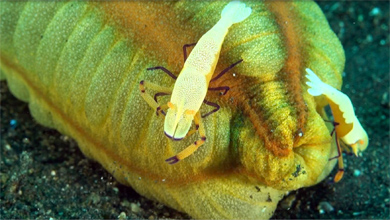 Wonderful emperor shrimp on sea cucumber