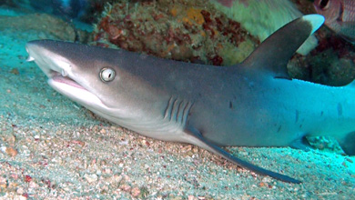 White tip sharks unfortunately rare and threatened